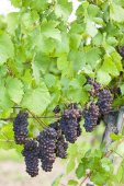 Grapes in vineyard (pinot gris), Southern Moravia — Stock Photo