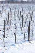 Winter vineyard, Southern Moravia, Czech Republic — Stock Photo