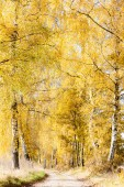 Autumnal birch alley — Stock Photo