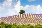 Lavender field with a tree, Provence — Stock Photo