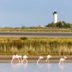 ������, ������: Flamingos and Gacholle lighthouse Parc Regional de Camargue Pr