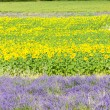 Lavender and sunflower fields, Provence, France — Stock Photo #66696221