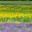Lavender and sunflower fields, Provence, France — Stock Photo #69084617
