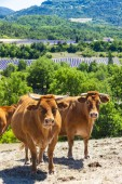 Herd of cows, Rhone-Alpes, France — Stock Photo