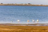Flamingos in Camargue, Provence — Stock Photo