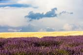 Lavender and grain field, Provence, France — Foto de Stock