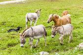 Osły i konie, Piemontu, Włochy — Zdjęcie stockowe