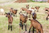 Herd of goats, Aveyron, Midi Pyrenees, France — Stock Photo