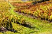 Vineyards of Beaujolais, Rhone-Alpes, France — Stock Photo