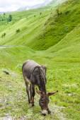 Donkey, landscape of Piedmont near French borders, Italy — Stock Photo