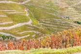 Grand cru vineyard of Cote Rotie, Rhone-Alpes, France — Stock Photo