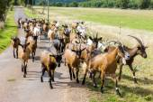 Herd of goats on the road, Aveyron, Midi Pyrenees, France — Stock Photo
