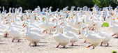 Goose farm, Czech Republic — Stock Photo