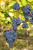 Modré hrozny ve vinici, Jižní Morava — Stock fotografie