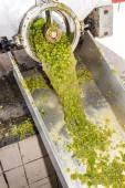 Wine harvest, Southern Moravia — Stock Photo