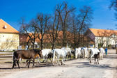 Stud farm, Kladruby Kralove nad Labem, Czech Republic — Stock Photo