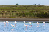 Flamingos in Camargue, Provence, France — Stock Photo