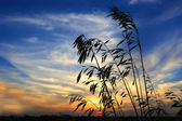 Grass on sunset background — Stock Photo