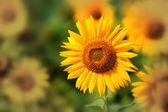 Nice sunflower on field — Stock Photo