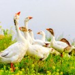 Gooses on meadow — Stock Photo #53484669