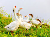 Gooses on meadow — Stock Photo