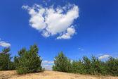 Pines under nice sky — 图库照片