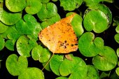 Autumn leaf on lake leafage — Stock Photo