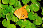 Autumn leaf on lake leafage — Fotografia Stock