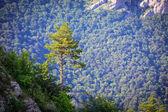 Pin de montagnes — Photo