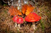 Fly agaric mushrooms — Stock Photo