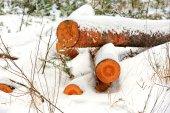 Pine logs under snow — Stock Photo