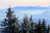 Pine trees on foggy valley — Stock Photo