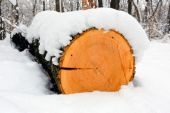 Wooden log in winter forest — Stock Photo