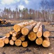Pine logs in forest — Stock Photo #65172087