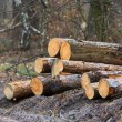Wood logs in forest — Stock Photo #66398729