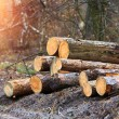 Wood logs in forest — Stock Photo #66727343
