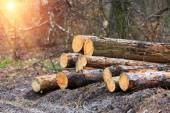 Wood logs in forest — Stock Photo
