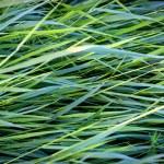 Green grass — Stock Photo #74337267