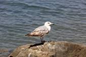 Seagull on stone in sea water — Stock Photo