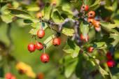 Hawthorn twig — Stock Photo