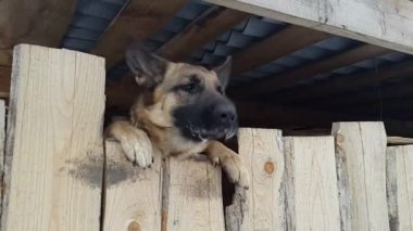 Wicked shepherd barks from behind a fence — Video Stock