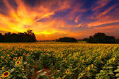Sunflowers in the Sunset — Stock Photo