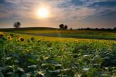 Sunset Sunflowers — Stock Photo
