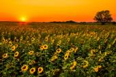 Midwest Sunflowers — Stock Photo