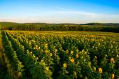 Field of Yellow Sunflowers — Stock Photo
