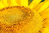 Head of Sunflower — Stock Photo