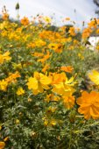 Daisy field — Stock Photo