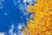 Yellow leaves — Stock Photo