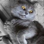 Portrait of a grey cat — Stock Photo #69924857