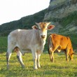 Cattles — Stock Photo #64552829